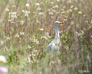 Heron garde-boeuf - Bubulcus ibis