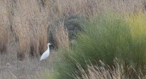 Heron-Garde-boeuf