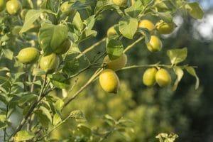 Citron Carvoeiro