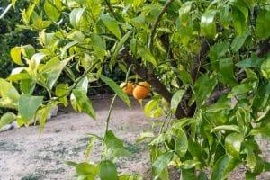 Mandarine Carvoeiro