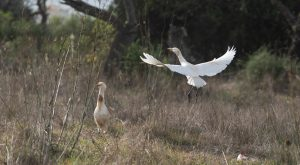 Vol - Heron garde bœuf-Bubulcus ibis